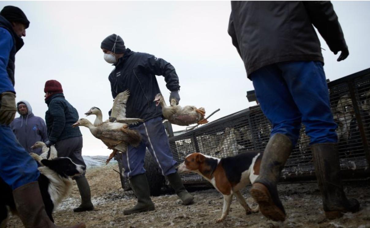 Doi experți chinezi care au identificat coronavirusul alertează lumea despre pericolul gripei H5N8